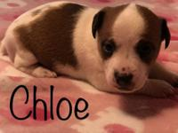 Chloe is a beautiful little Jack Russell Terrier. She