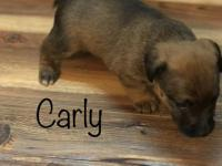 Carly is a beautiful little solid colored Jack Russell