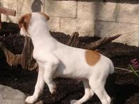 Chief is a purebred Jack Russell puppy. Has current