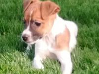 Toffee is a purebred Jack Russell puppy with current