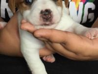 Purebred Jack Russell puppy mother AKC father EJRT for