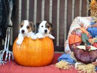 Priceless SHORTIE smooth coat Jack Russell Terriers
