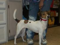 Jack Russell Terrier - Rex - Small - Adult - Male -
