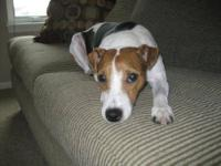 Jack Russell Terrier - Riley - Small - Adult - Male -