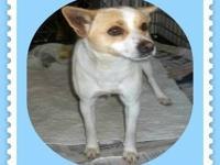 Jack Russell Terrier - Ritz - Small - Young - Male -