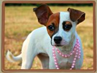 Jack Russell Terrier - Ruby - Small - Young - Female -