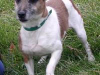 Jack Russell Terrier - Russell - Medium - Adult - Male