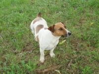 Jack Russell Terrier - Sadie Sue - Small - Adult -