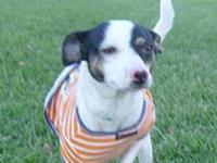 Jack Russell Terrier - Sara -- In Foster - Small -