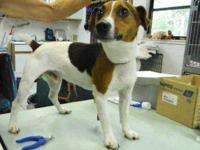 Jack Russell Terrier - Scotty 11976 - Small - Adult -