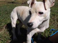 Jack Russell Terrier - Scrapper - Small - Adult - Male