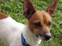 Jack Russell Terrier - Sheldon - Small - Adult - Male -