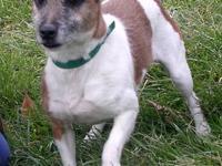 Jack Russell Terrier - Sherlock - Medium - Adult - Male