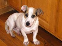 Jack Russell Terrier - Skippy - Small - Young - Male -