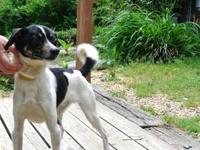 Jack Russell Terrier - Spot - Medium - Adult - Male -
