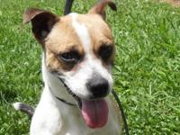Jack Russell Terrier - Spot - Small - Adult - Male -