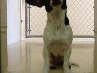 Jack Russell Terrier - Spots - Medium - Adult - Female