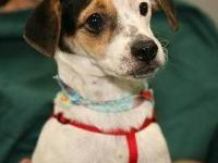 Jack Russell Terrier - Timmy - Small - Young - Male -