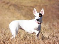 Jack Russell Terrier - Tommy #2 - Small - Adult - Male