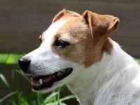 Jack Russell Terrier - 'tori' - Small - Adult - Female