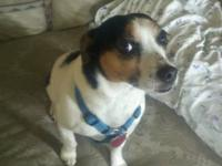 Jack Russell Terrier - Trip - Small - Adult - Male -