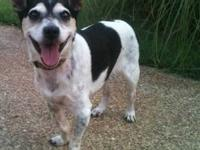 Jack Russell Terrier - Vicki - Small - Young - Female -