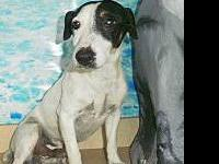Jack Russell Terrier - Wishbone - Small - Adult - Male