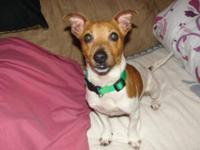 Jack Russell Terrier - Zach $35 - Small - Adult - Male