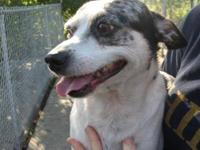 Jack Russell Terrier - Ziggy - Small - Adult - Male -
