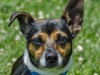 Jack Russell Terrier - Zinc - Small - Adult - Male -