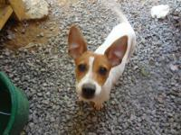Jack Russell Terrier - Zippy - Medium - Young - Female