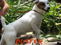 Jack Russell Terrier - Zuma - Small - Adult - Female -