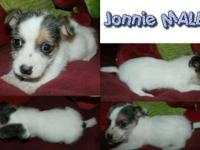 Place is JACKSON CO. NC-- TWO Jack Russell MALES for