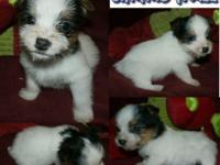 Place is JACKSON CO. NC-- THREE Jack Russell MALES for