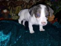 We have 3 blue merle pups at this time. All females.