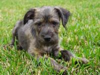 Jack: Jack is a spunky Schnauzer/terrier mix. His fur