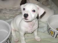 I have this awesome looking Female Jack Russell Puppy