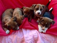 sale Jack Russell pit bull cross young puppies.