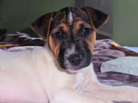 ROCKET is an adorable smooth coat tri-color male with a