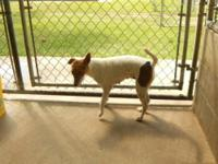 Jack Russell Terrier - Coco - Small - Young - Female -