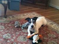 Jack Russell Terrier - Cooper - Small - Adult - Male -