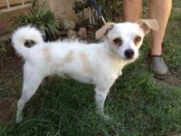 Jack Russell Terrier - Fritz - Small - Senior - Male -