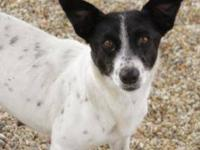 Jack Russell Terrier (Parson Russell Terrier) - Violet