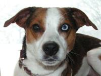 Jack Russell Terrier (Parson Russell Terrier) - Willy -