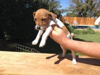 For Sale: Cute 8-week old lady Jack Russell terrier.