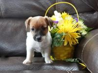 Family raised and loved Irish Jack Russell pup. Up to