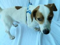 Jack Russell Terrier - Skipper - Small - Adult - Male -