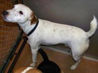 Jack Russell Terrier - Snoop/f - Small - Adult - Male -