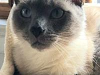 My story Jack is a 2 year old Siamese, front declawed.