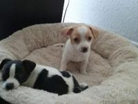 Two jackihuahua pups, 8 weeks old. One male and one